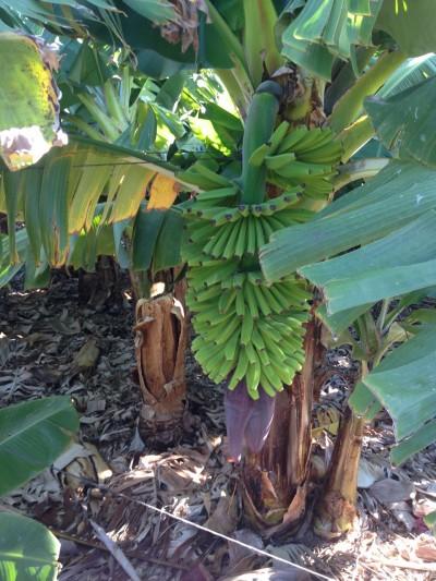 banannier