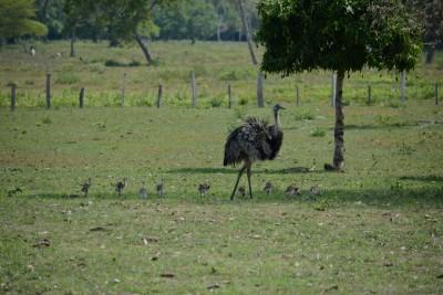 Emeu avec ses petits