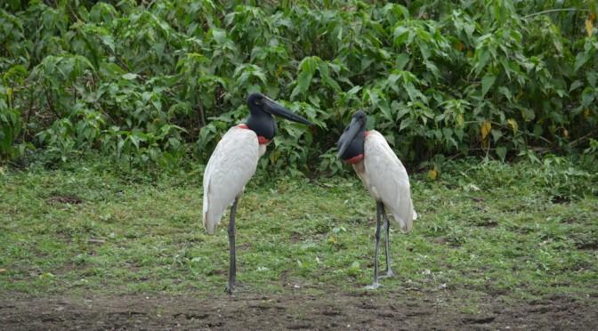 Tuiuiu embleme du Pantanal