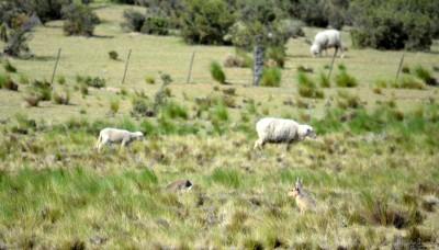 moutons avec les maras