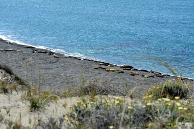 Punta Cantor et ses éléphants de mer