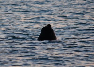 lion de mer dans la baie de Camerones