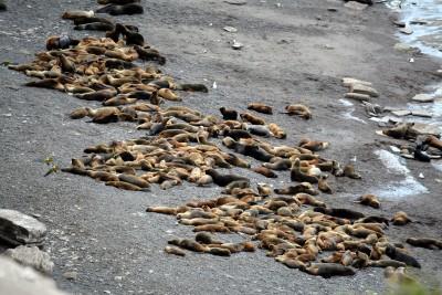 Jeunes lions de mer (en jaune)