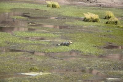 même le renard est dans l'eau, il surveille ses proies