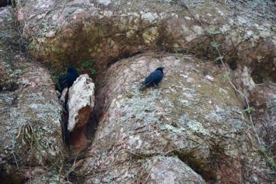ce sont des choupines, oiseaux chanteurs