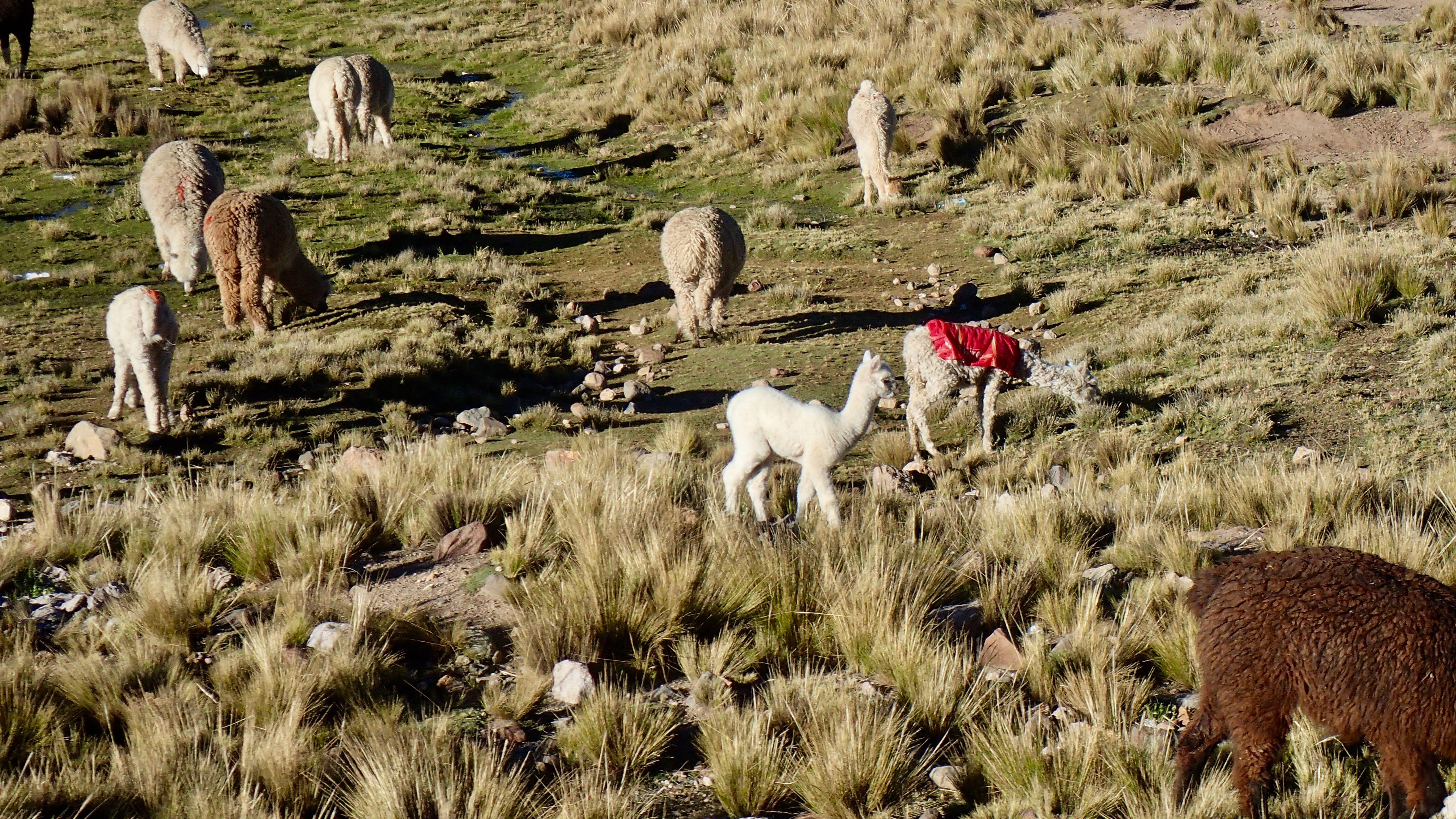 on retrouve les lamas