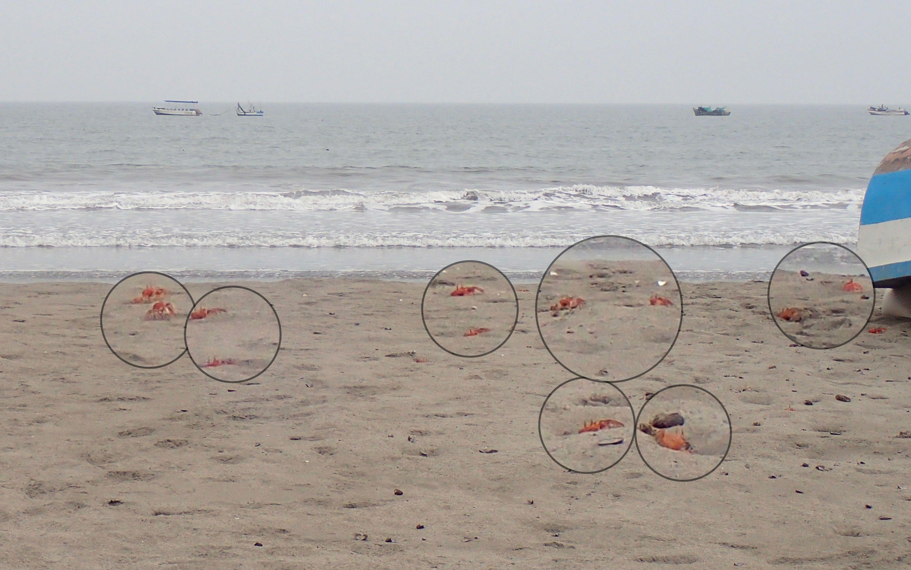 de centaines de crabes sur la plages