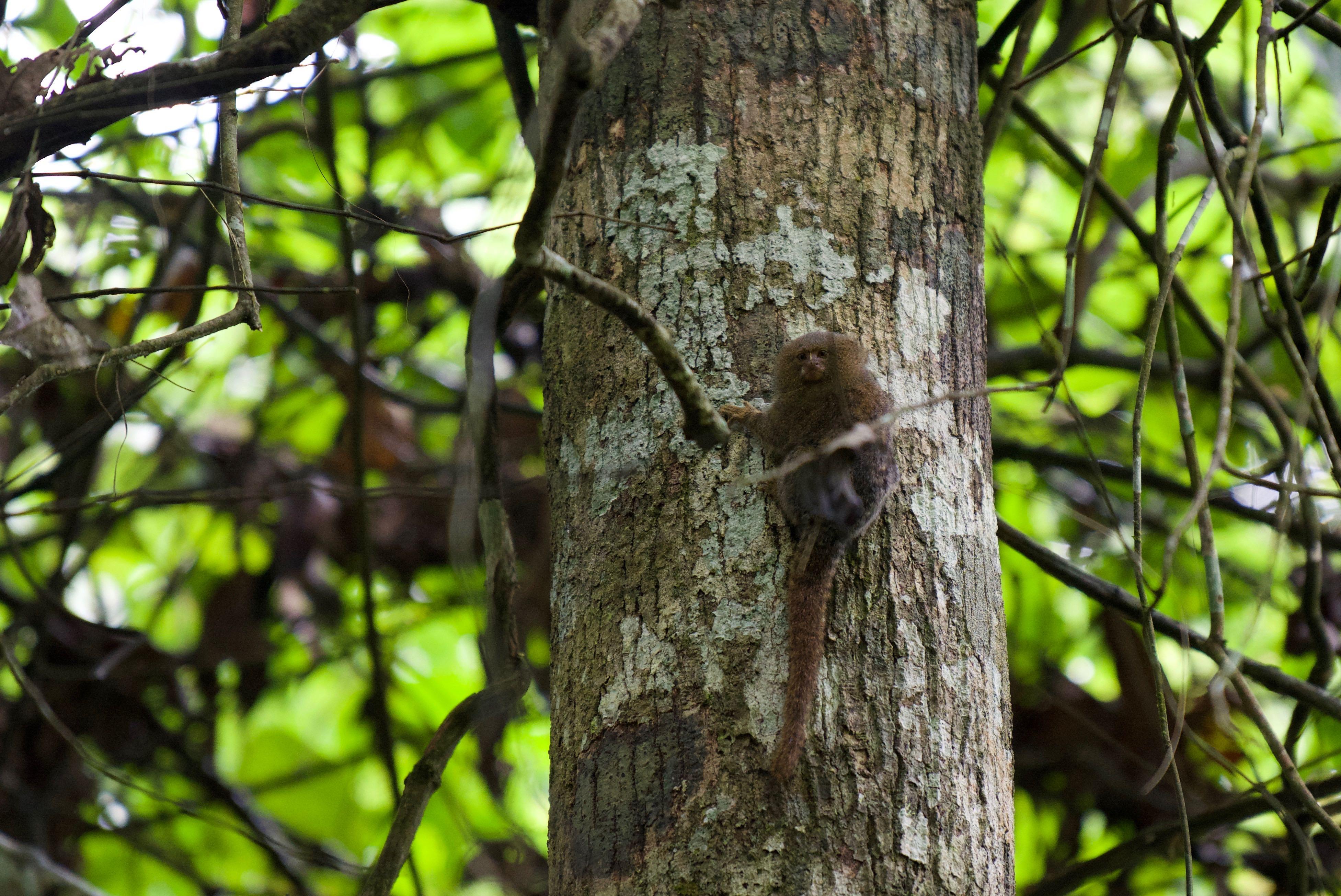 singe pygmée : 150g le plus petit singe