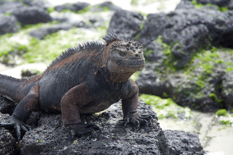 Iguane marin au Galapagos