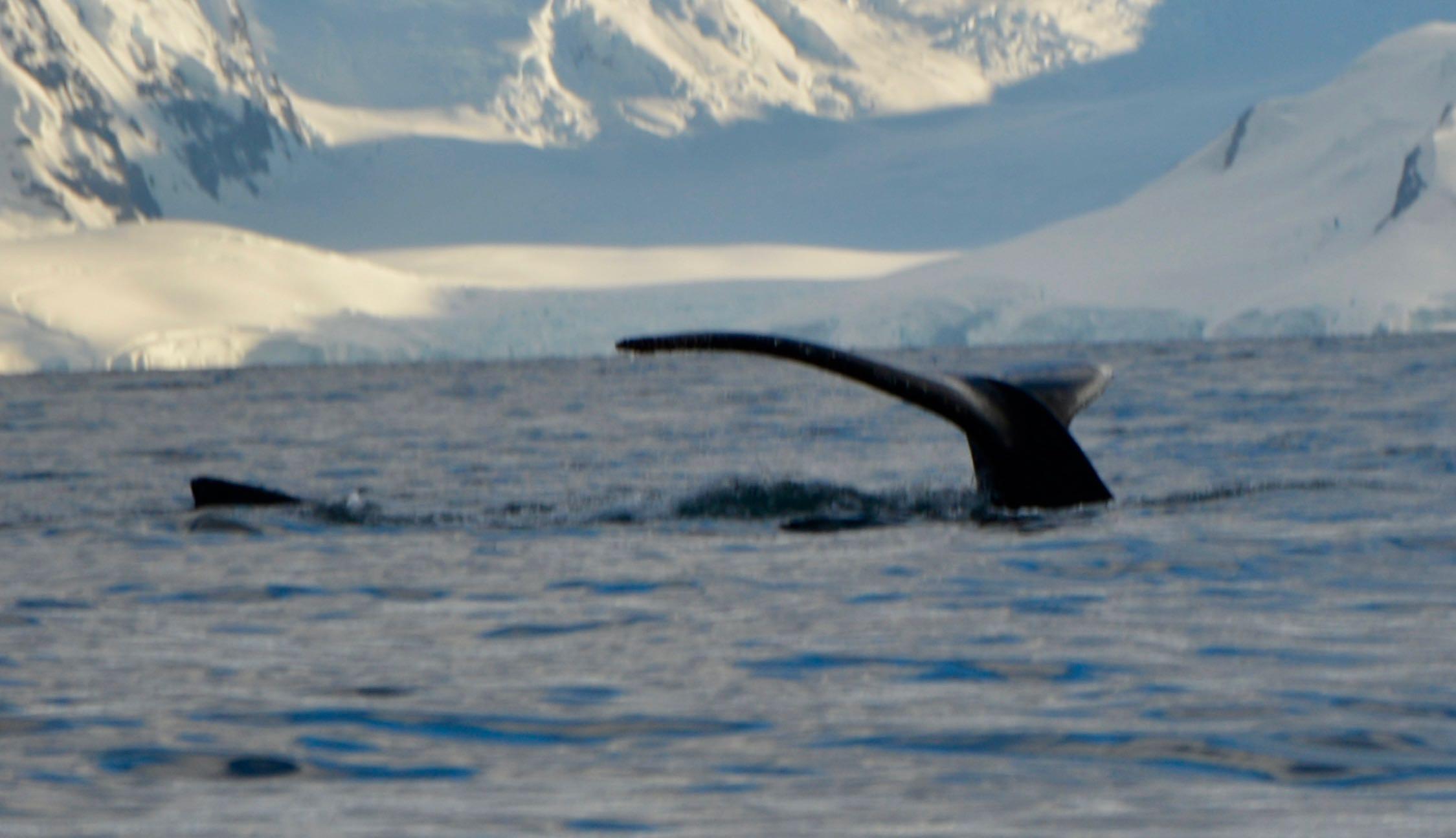 Baleine en Antarctique