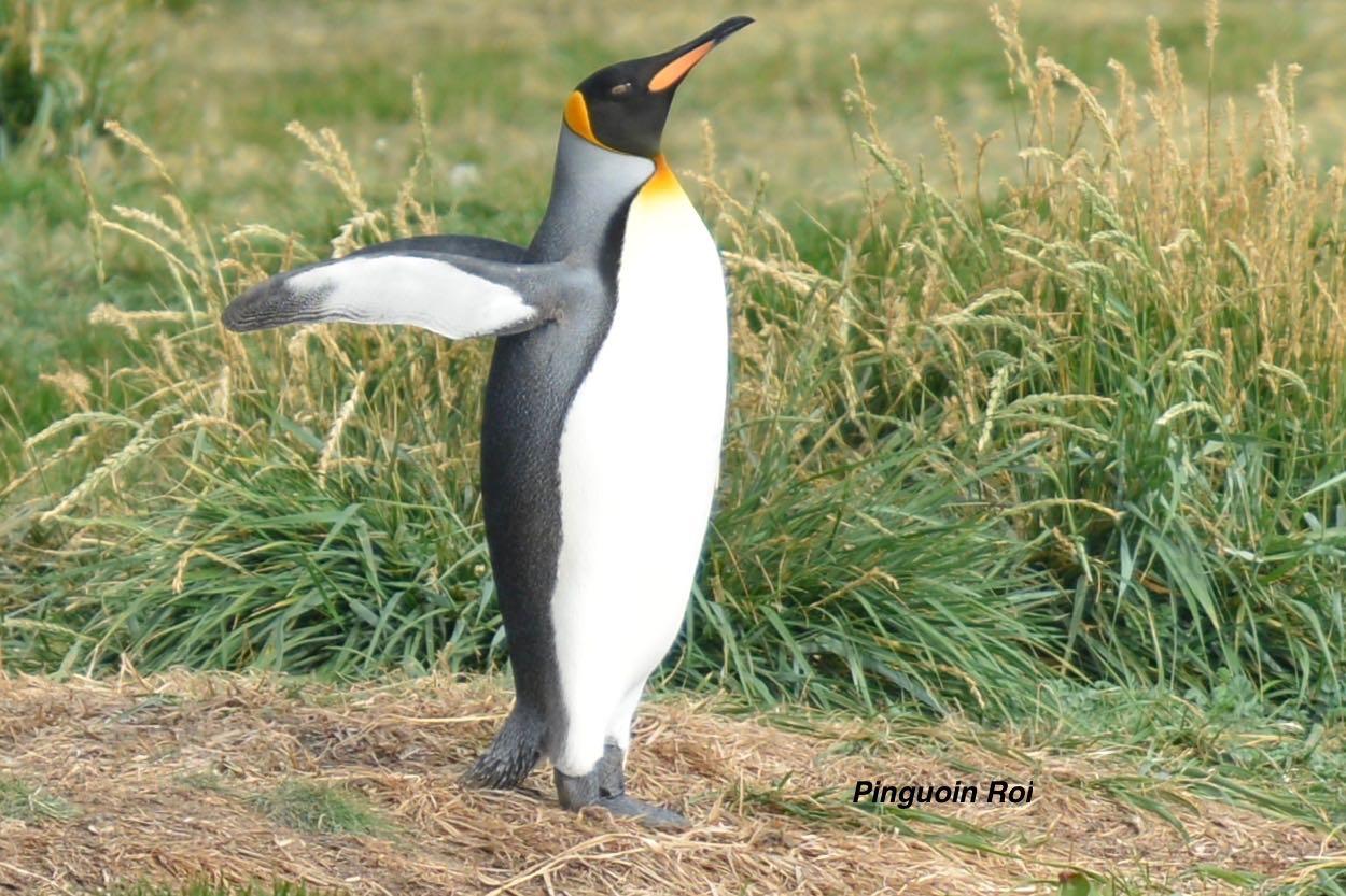 Chili : pingouin-roi